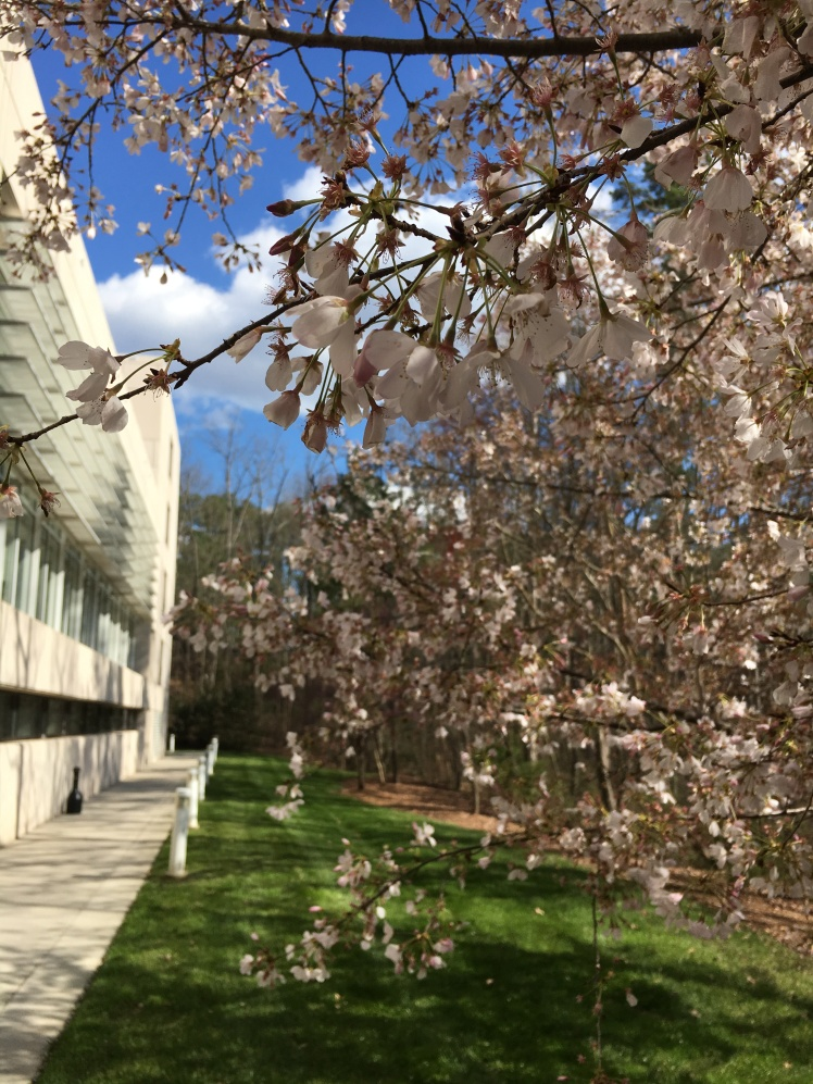 North Carolina Blossoming Tree