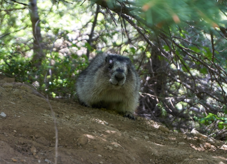 Supremely adorable marmot